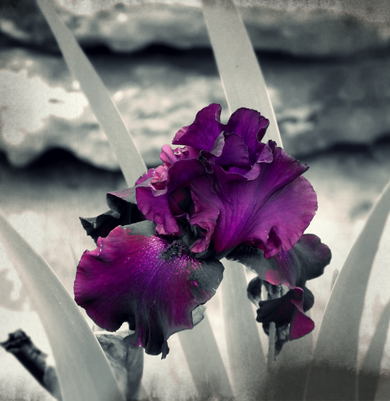 Last Years Iris..Pixeled...